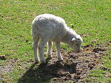 Un bel agneau